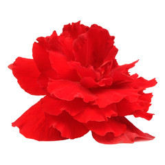 Red Begonia Flower Isolated on White Background