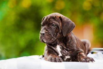 brindle cane corso puppy