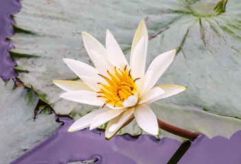White and yellow blooming lotus flower