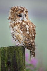 Tawny owl sitting on a post