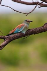 ghiandaia marina uccello sudafrica