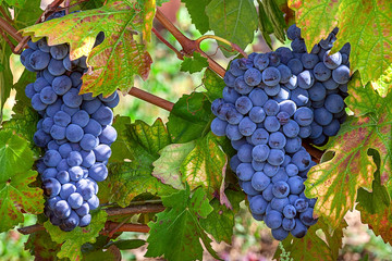 Ripe grapes of Piedmont, Italy.