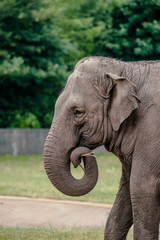 Old cute elephant eating straw
