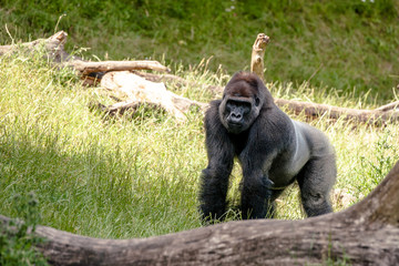 Big gorilla looking at you