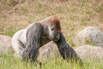 Big gorilla walking in the grass