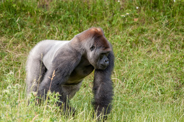 Old gorilla on a grass field