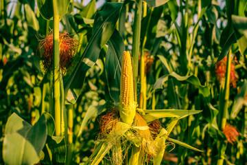 Peeled corn on a field