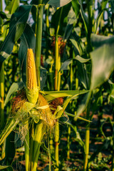 Fresh yellow corn crops