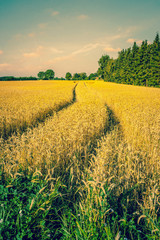 Golden crops on a countryside