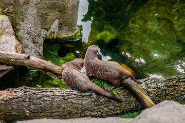 Two asian otters on a log
