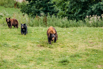 Family of american black bears