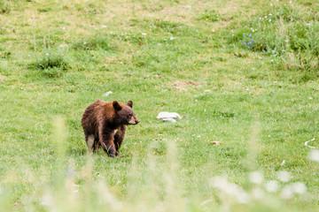 Cute little black american bear