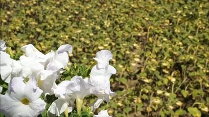 Clip fiori e campo di girasoli