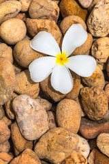 plumeria on pebbles background.