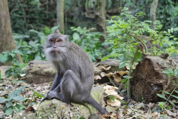 Balinese monkey in Ubud