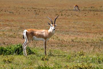 gazzella thomson savana parco nazionale serengeti tanzania