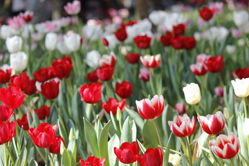 colorful tulips in park.