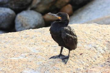 cormorano del capo marangone