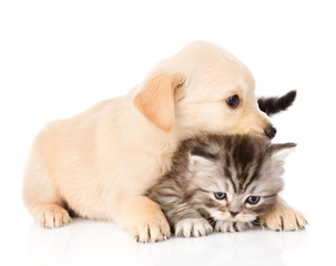 golden retriever puppy dog and british cat together. isolated on