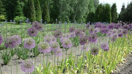 round decorative great garlic (Allium giganteum) flower buds