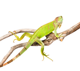 green iguana crawling on dry branch. isolated on white backgroun