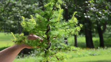 Close scene of man hands care cut bonsai larch tree