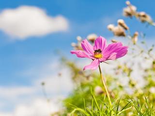 Sommerausflug - Eine Hummel auf einer pinkfarbenen Blüte
