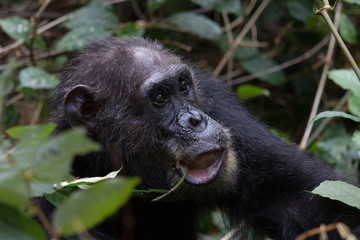 Chimpanzee feeding on vines