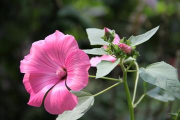 Blüten der Stockrose