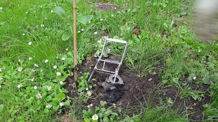 dead mole animal caught with special gardener trap tool