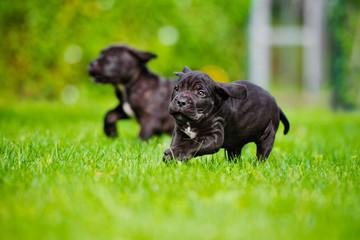happy puppy running on grass