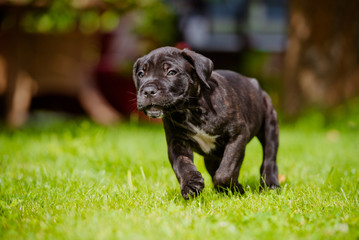 cane corso puppy running
