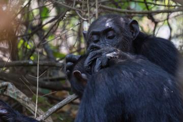 Chhimpanzees grooming