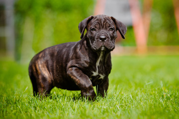 cane corso puppy standing on grass