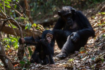 Mother and infant chimpanzee in natural habitat