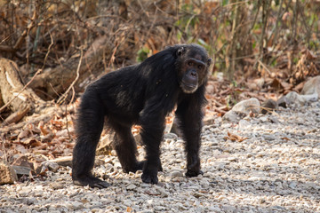 Male chimpanzee standing on gravel road