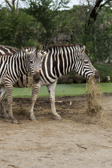 African Zebra eating grass
