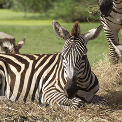 Close up African Zebra