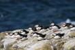 pulcinella di mare uccello marino isole farne scozia
