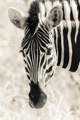 Zebra Head Portrait Wildlife Black White Vintage