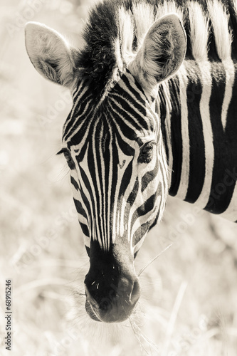 Aluminium Zebra Zebra Head Portrait Wildlife Black White Vintage