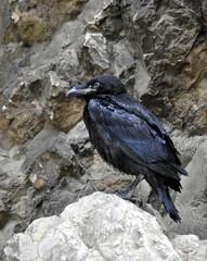 bird - the raven