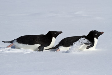 Two Adelie penguin who crawl on their bellies through the snowy