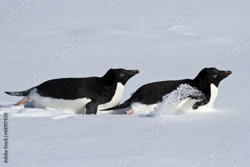 Foto op Aluminium Antarctica Two Adelie penguin who crawl on their bellies through the snowy