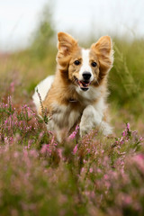 Border Collie im Heidefeld