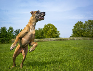 Great Dane on hind legs looking right, no ball