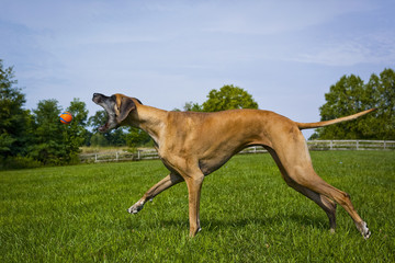 Great Dane open mouth parallel to orange ball in mid air