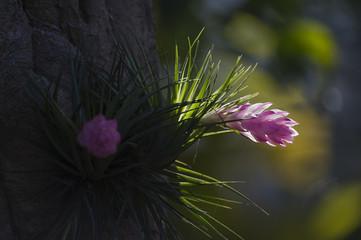 Bromelia Tillandsia stricta