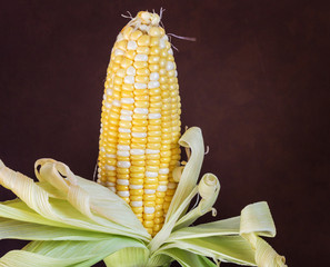 two tone of sweet Corn on dark brown background