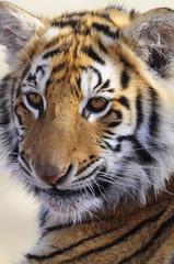 Closeup Portrait shot of a Bengal Tiger